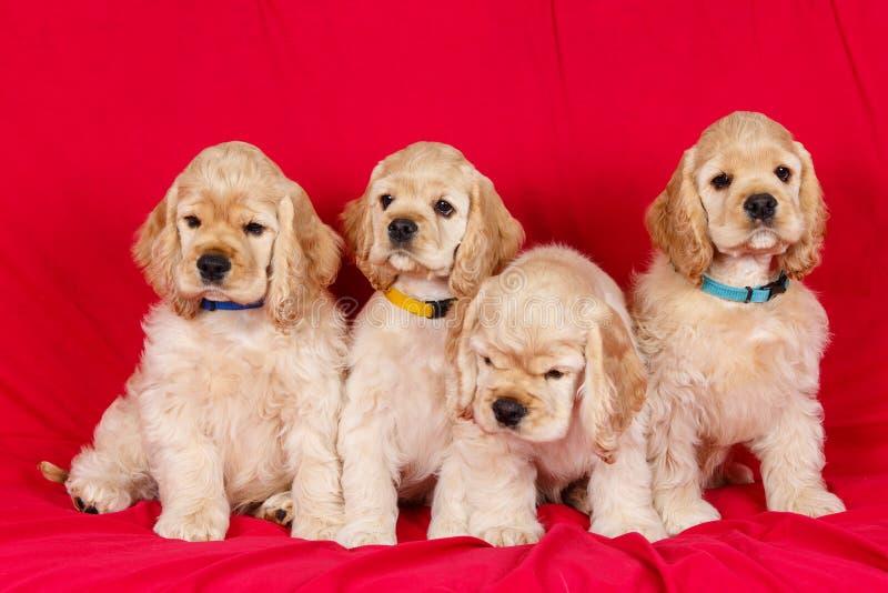 Grupo de perritos de cocker spaniel del americano fotografía de archivo libre de regalías