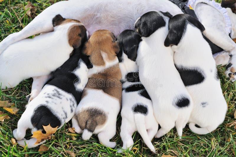Grupo de perritos de un enchufe Russell para chupar la leche de su madre fotografía de archivo