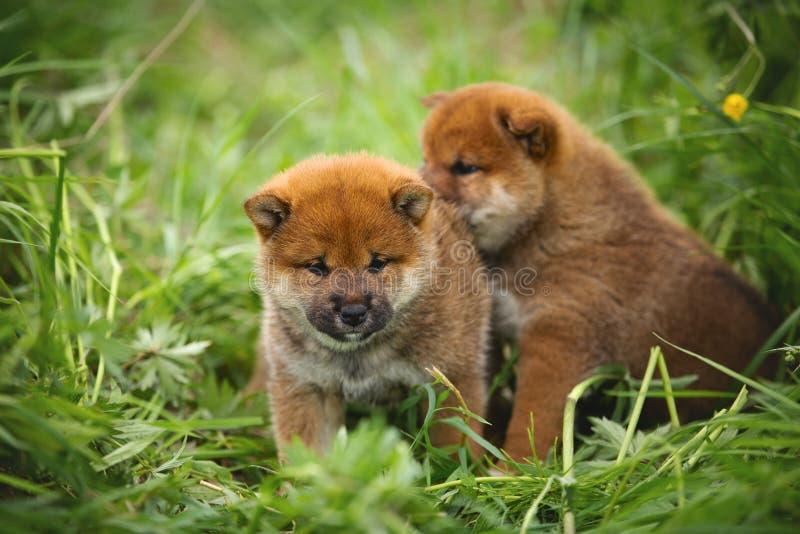 Grupo de perritos rojos hermosos del inu del shiba que se sientan en la hierba verde fotos de archivo