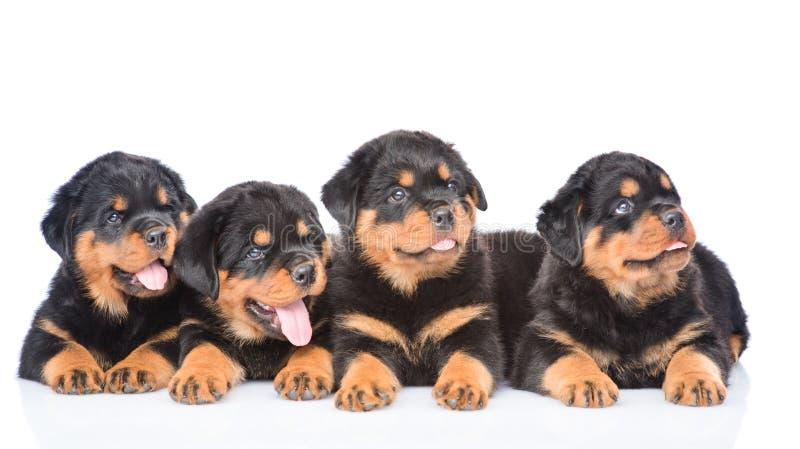 Grupo de perritos Rottweiler que miente junto en vista delantera Aislado foto de archivo libre de regalías