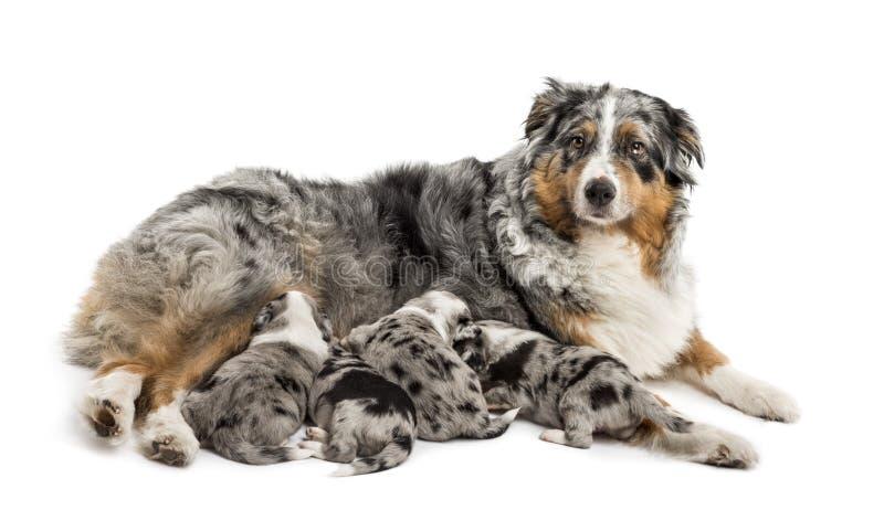 Grupo de 21 perritos viejos del híbrido del día que amamantan a la madre de la forma foto de archivo