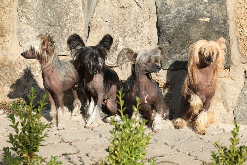 Grupo de perro con cresta chino en el jardín imagen de archivo