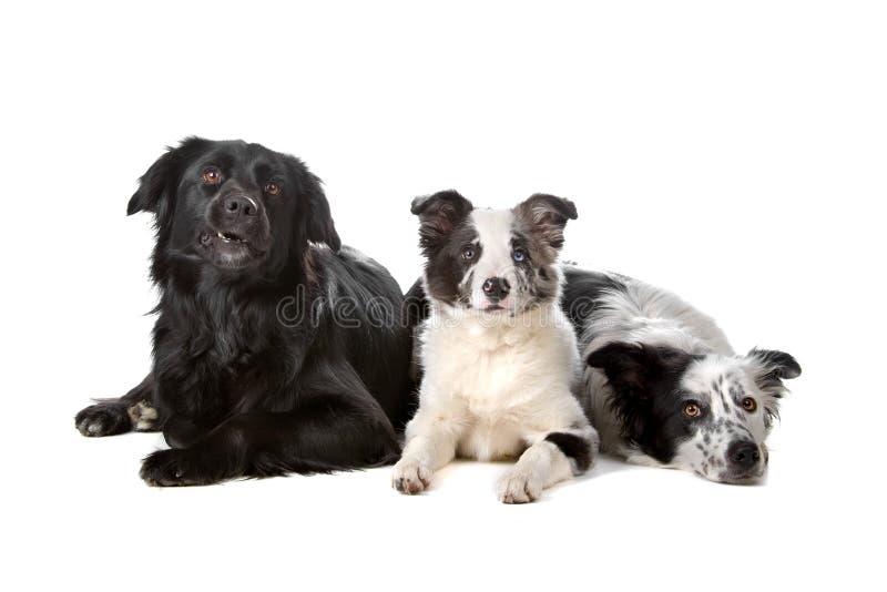Grupo de perros del collie de frontera fotos de archivo