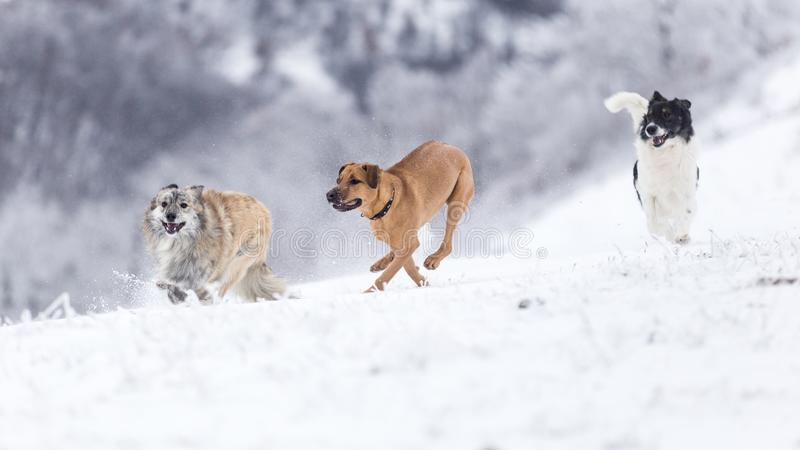 Grupo de perros que se divierten durante un día frío de invierno en las montañas de Rumania imágenes de archivo libres de regalías
