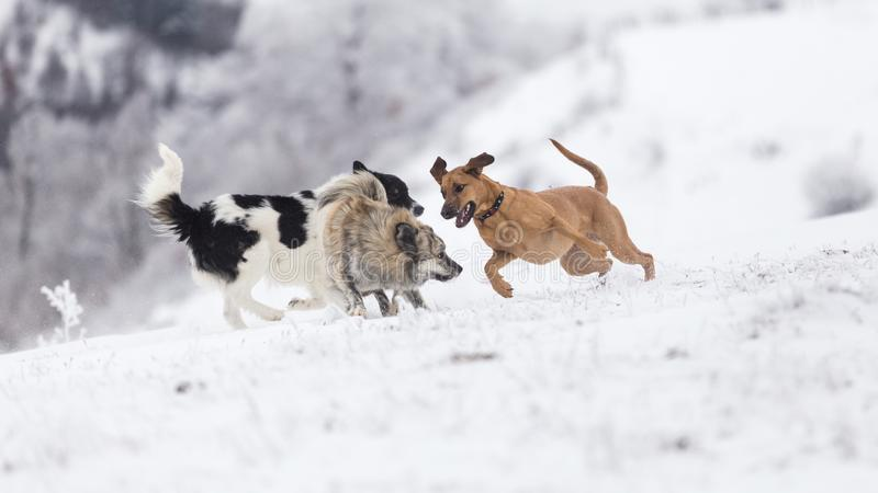 Grupo de perros que se divierten durante un día frío de invierno en las montañas de Rumania fotos de archivo