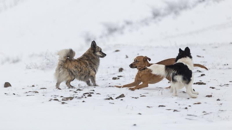 Grupo de perros que se divierten durante un día frío de invierno en las montañas de Rumania imagen de archivo