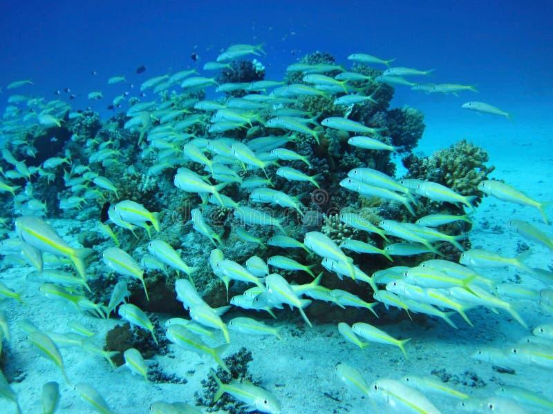 Grupo de pescados coralinos en agua. imagenes de archivo