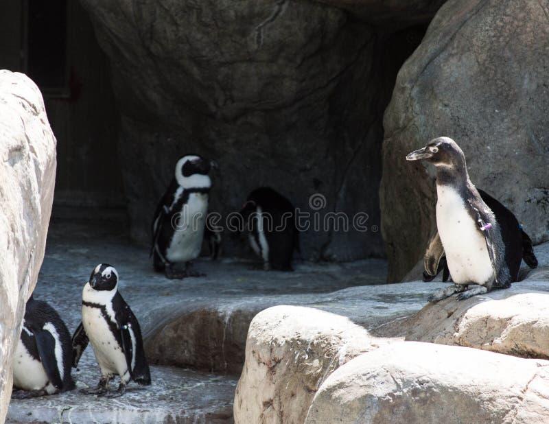 Grupo de pinguins foto de stock royalty free