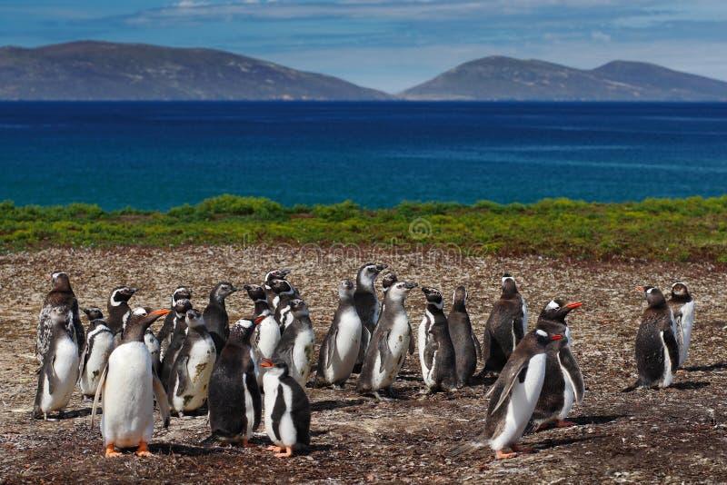 Grupo de pinguins do gentoo na grama verde Pinguins de Gentoo com o céu azul com nuvens brancas Pinguins no habitat da natureza p fotos de stock