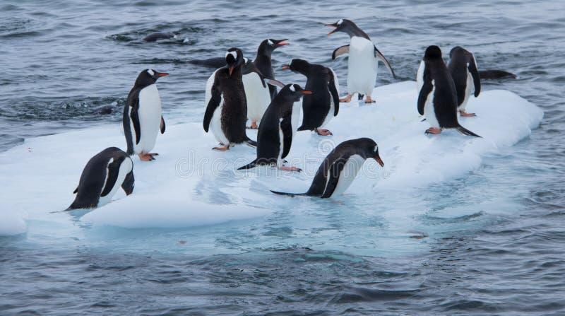 Grupo de pinguins de Gentoo em um bloco pequeno de gelo fotos de stock