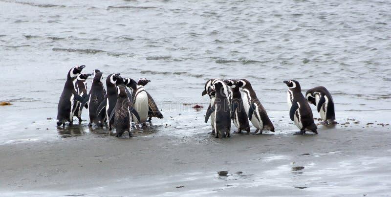 Grupo de pinguins de Magellanic na costa do oceano no Patagonia, o Chile fotografia de stock