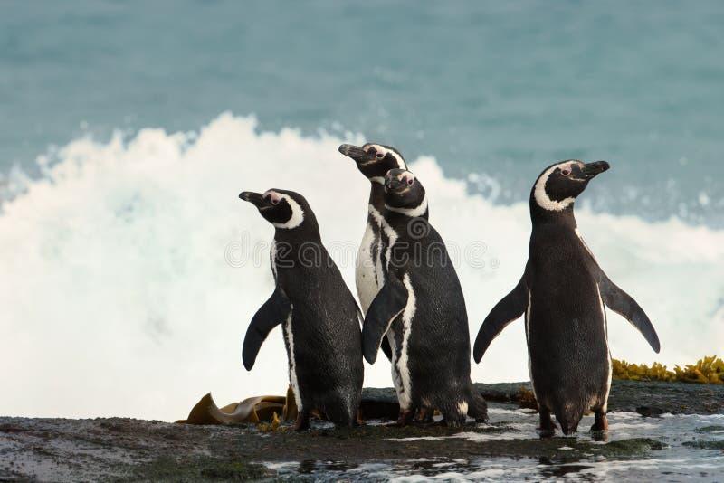 Grupo de pinguins de Magellanic que estão em uma costa fotos de stock royalty free