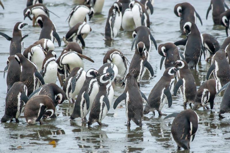 Grupo de pinguins na costa fotos de stock