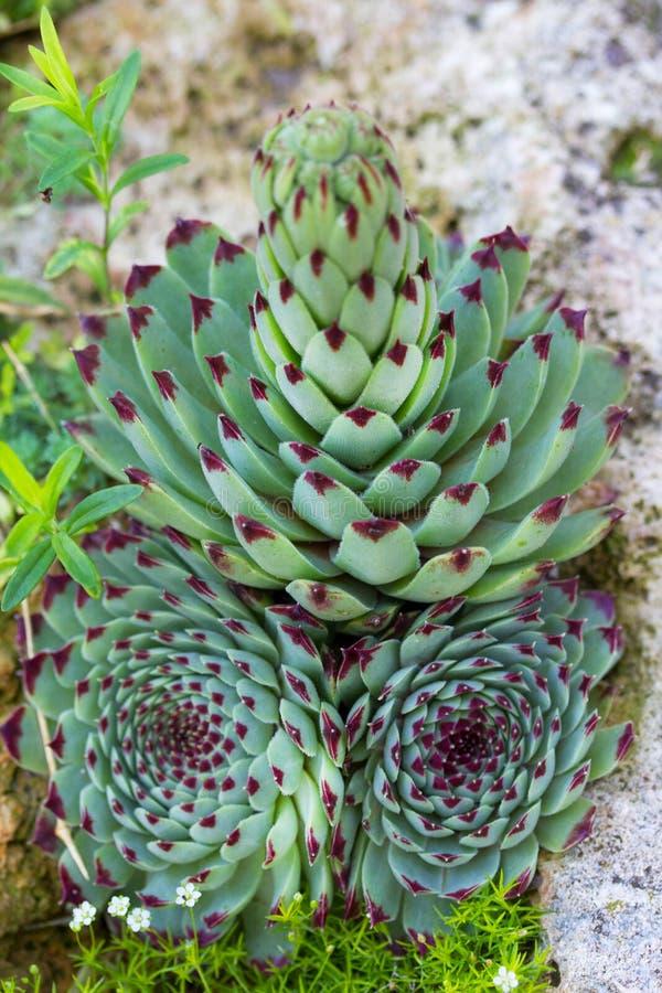 Grupo de planta suculento diminuta do cacto nas pedras no jardim fotos de stock royalty free