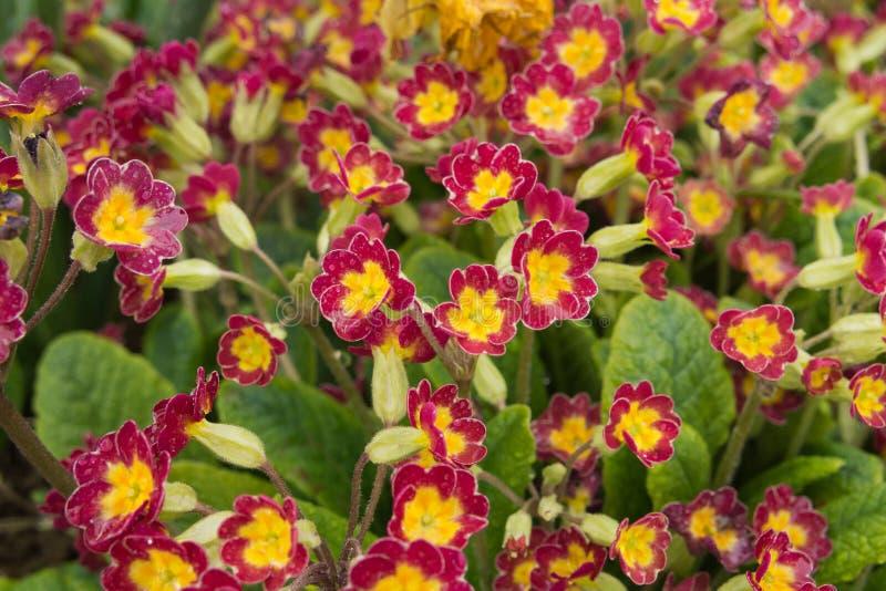 Download Grupo De Plantas De Veris Da Prímula Foto de Stock - Imagem de floral, verde: 65575458