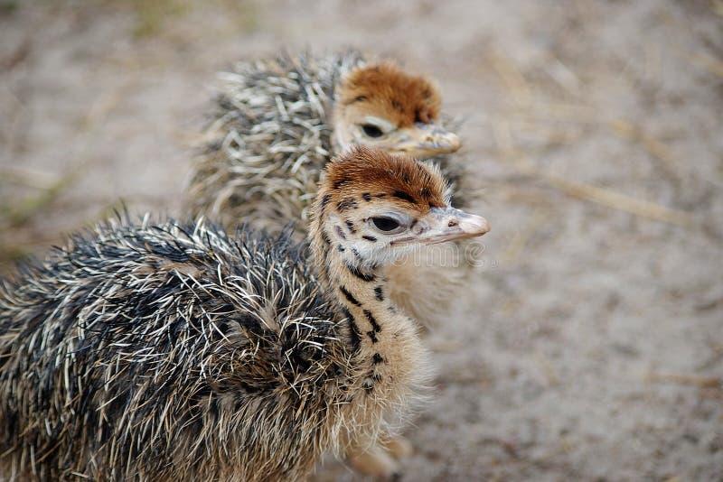 Grupo de pollo-avestruces con los cuellos manchados fotos de archivo libres de regalías