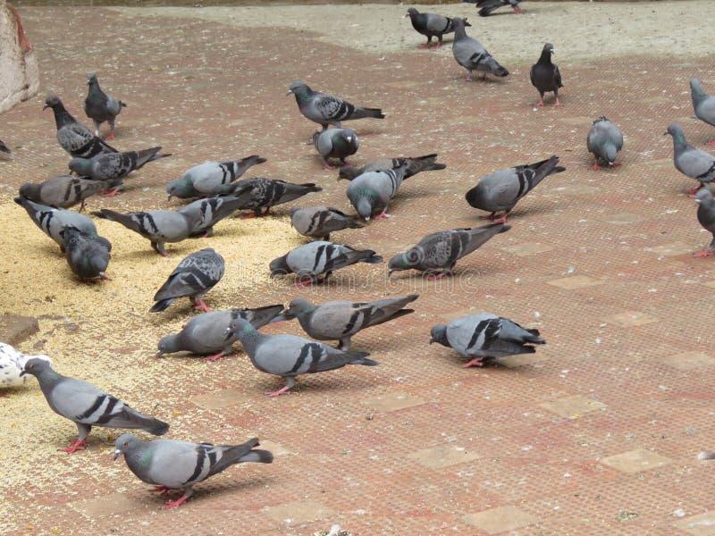 Grupo de pombos imagens de stock