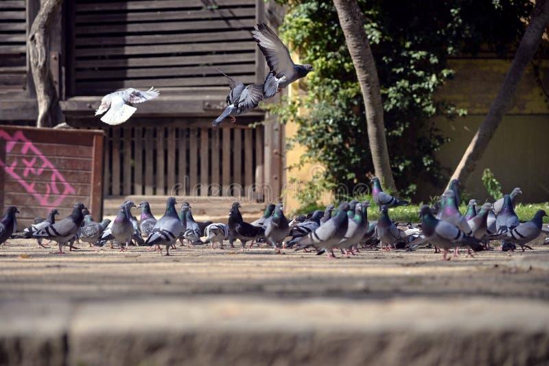 Grupo de pombos bonitos que refrigeram para fora no parque fotografia de stock royalty free