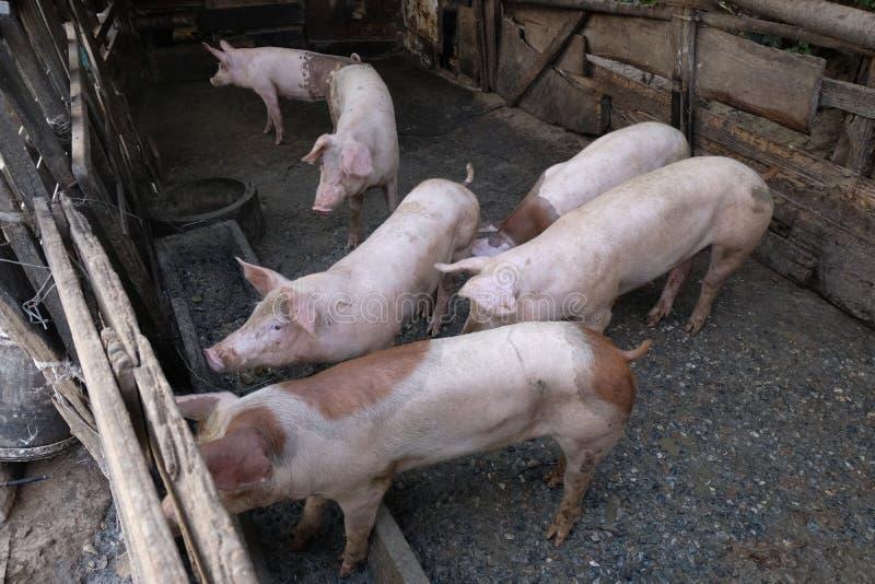 Grupo de porcos novos na exploração agrícola local, Tailândia imagens de stock royalty free