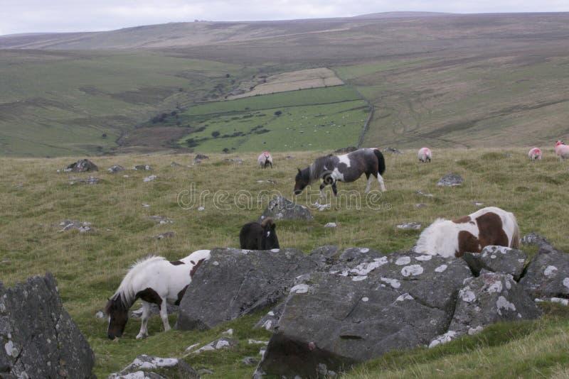 Grupo de potros de Dartmoor foto de archivo