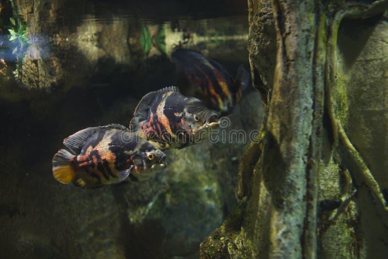 Grupo de poucos peixes grandes no aquário com planta, opinião do cartão do fundo imagens de stock