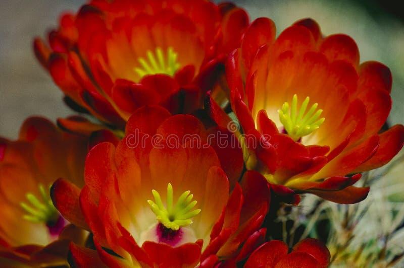 Grupo de primer anaranjado rojo de las flores del cactus de barril imágenes de archivo libres de regalías