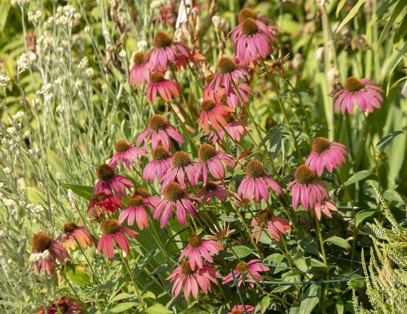 Grupo de purpurea do Echinacea, chamado geralmente coneflowers imagens de stock royalty free