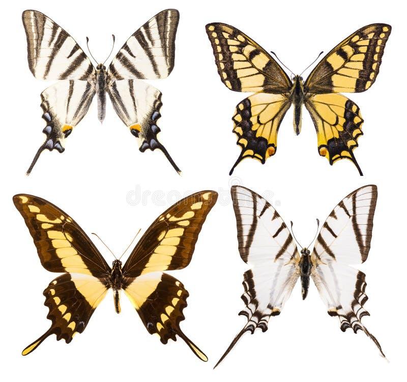 Grupo de quatro borboletas do swallowtail isoladas foto de stock royalty free