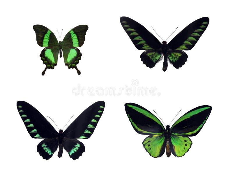 Grupo de quatro borboletas tropicais verdes fotos de stock