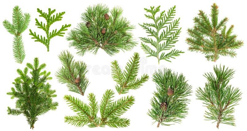 Grupo de ramos de árvore conífera Cone de abeto do thuja do pinho Spruce fotos de stock royalty free