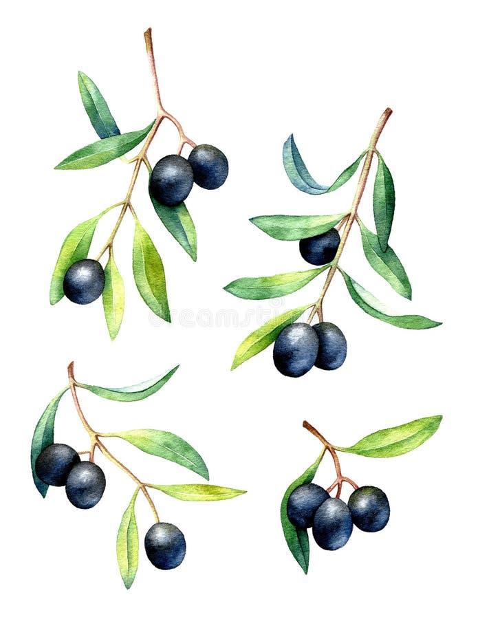 Grupo de ramos de oliveira tirados mão da aquarela ilustração royalty free