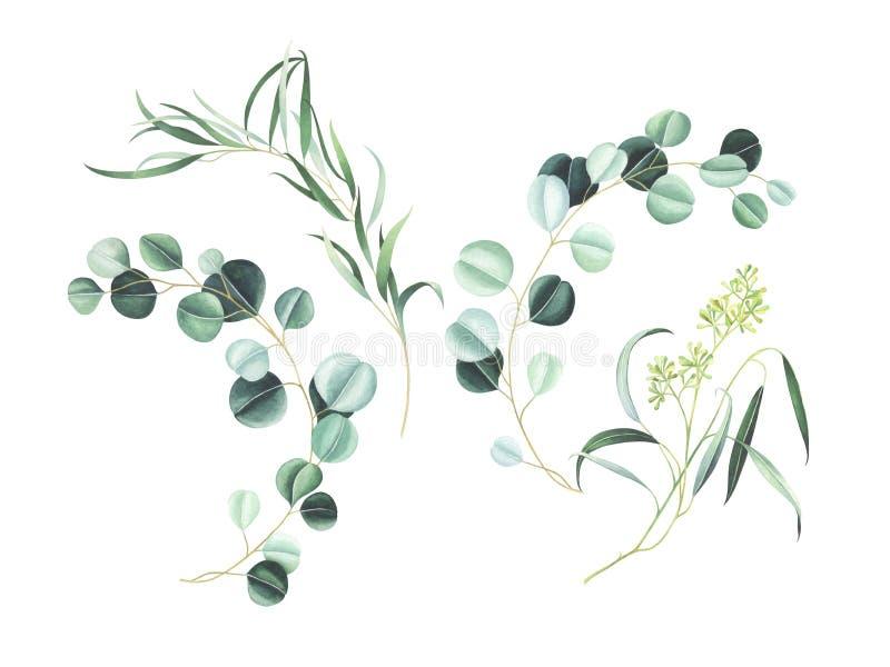Grupo de ramos do eucalipto da aquarela isolados no fundo branco ilustração royalty free