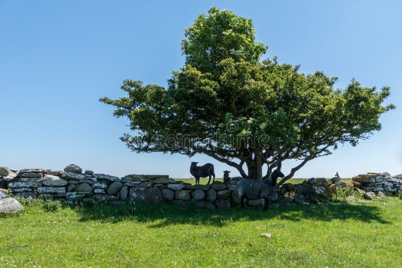 Grupo de refugio que busca y de sombra de las ovejas negras del sunligh imágenes de archivo libres de regalías