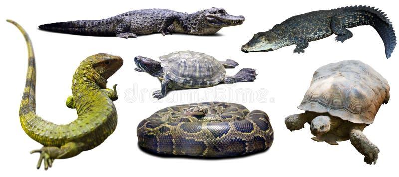 Grupo de reptilian Isolado sobre o branco foto de stock