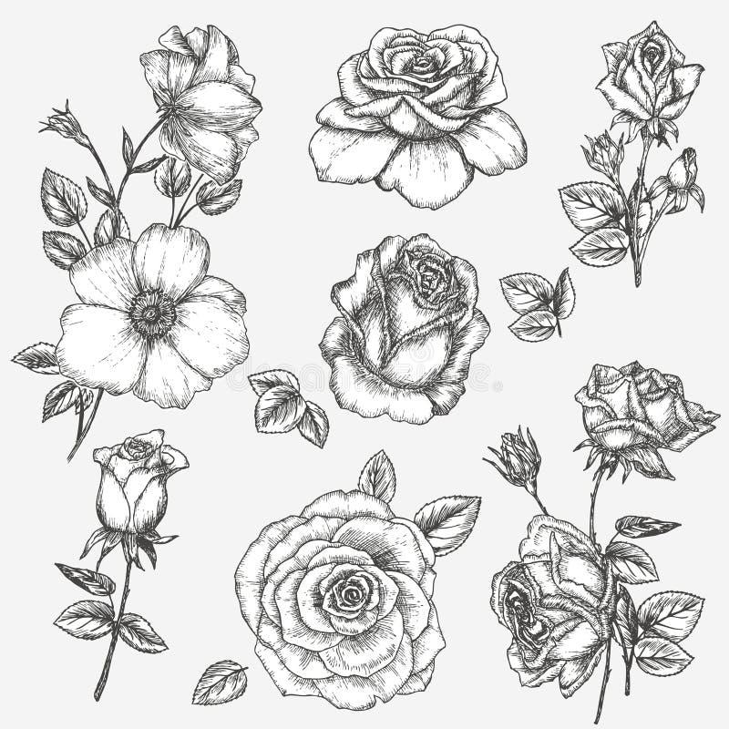 Grupo de Rosa ilustração do vetor
