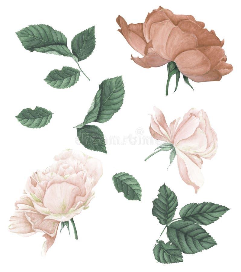 Grupo de rosas cor-de-rosa e vermelhas e de folhas, pintura da aquarela ilustração do vetor