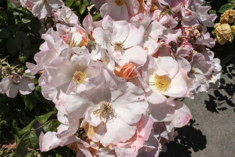 Grupo de rosas selvagens brancas róseos na flor completa no jardim de rosas - foco seletivo imagens de stock royalty free