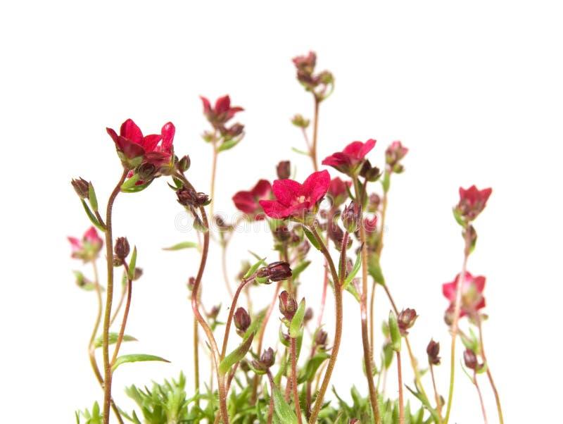 Grupo de Saxifrage vermelho fotografia de stock