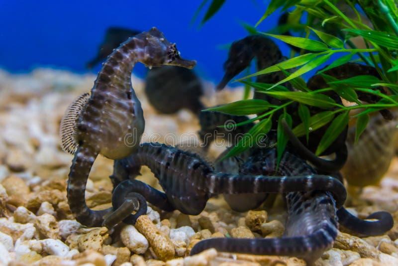 Grupo de seahorses grandes del vientre junto en el acuario, animales domésticos populares en acuicultura, pescados tropicales de  fotos de archivo libres de regalías