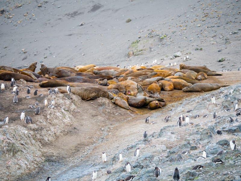 Grupo de sellos de elefante y de pingüinos meridionales del gentoo en Hannah P fotos de archivo libres de regalías