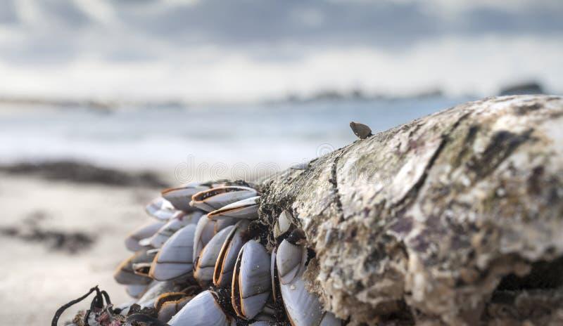 Grupo de shell no tinido da maré baixa em áspero velho, tênue, fotografia de stock