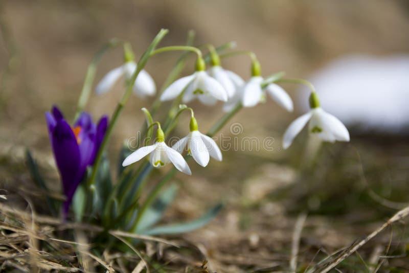 Grupo de snowdrops macios bonitos e um de açafrão violeta brilhante que crescem junto na grama seca em montanhas Carpathian PR da fotografia de stock royalty free