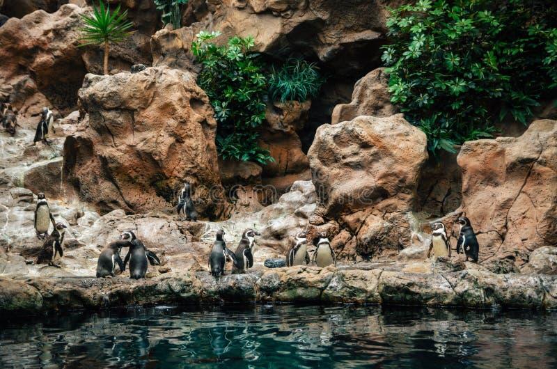 Grupo de soporte del pingüino de las Islas Galápagos en piedras imágenes de archivo libres de regalías