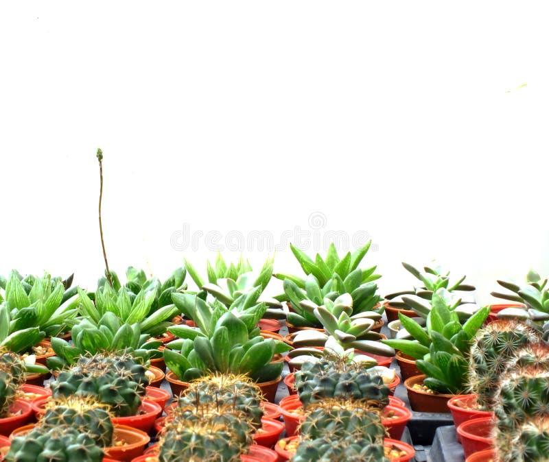 Grupo de succulent del cactus en un pote en el fondo blanco foto de archivo libre de regalías