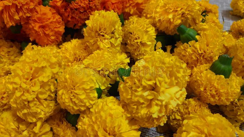 Grupo de Tagetes floral imagen de archivo
