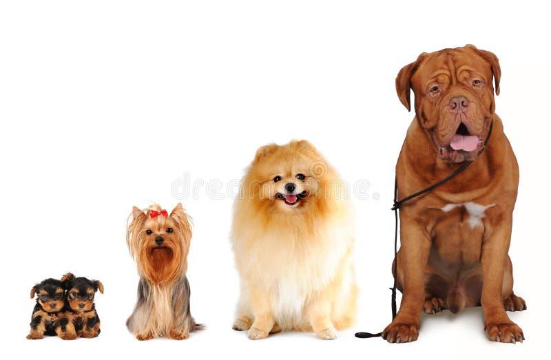Grupo de tamanhos diferentes dos cães isolados fotografia de stock