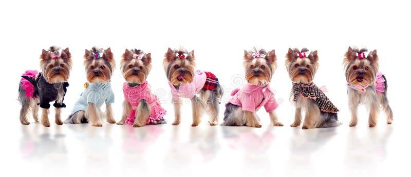 Grupo de terrieres de yorkshire vestidos lindos fotografía de archivo