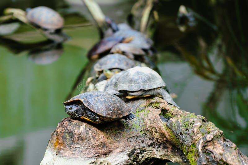 Grupo de tortuga Rojo-espigada del resbalador en una rama en el centro del agua imagen de archivo libre de regalías