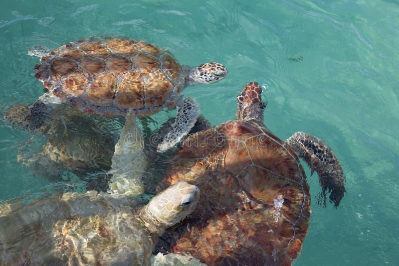Grupo de tortugas de mar del hawksbill en la superficie en agua clara del trullo fotografía de archivo