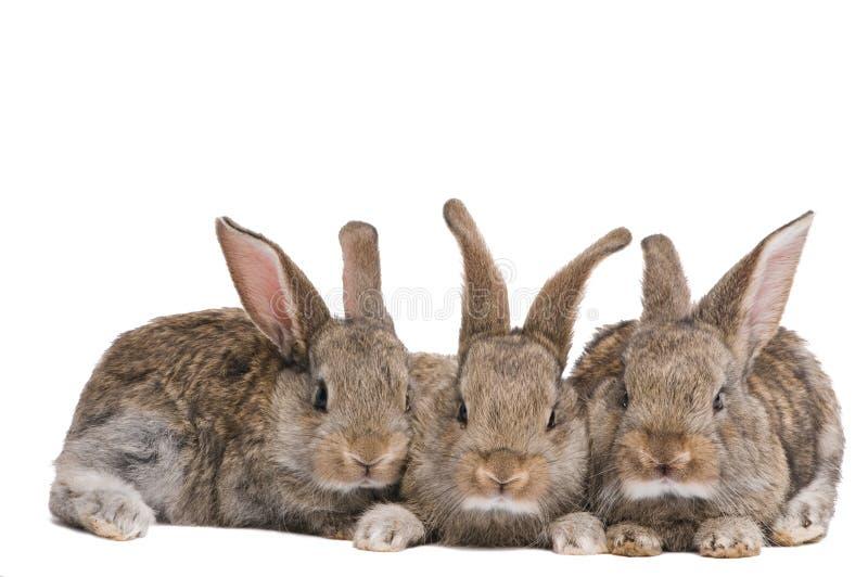 Grupo de três coelhos marrons do bebê fotografia de stock